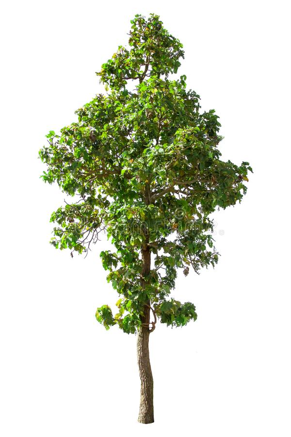 Isolated big tree on White Background. Large trees database Botanical garden organization elements of Asian nature in Thailand stock images