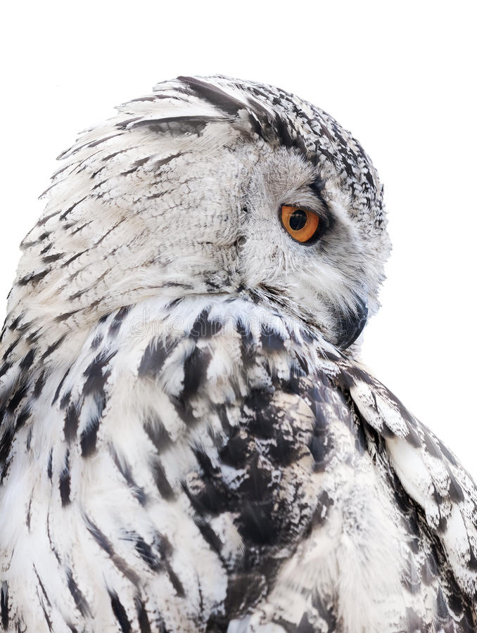 Free Isolated Black And White Owl Royalty Free Stock Photo - 41473955