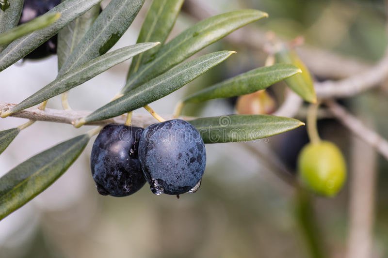 Isolated black olives on olive tree. Closeup of isolated ripe black olives on olive tree stock photography