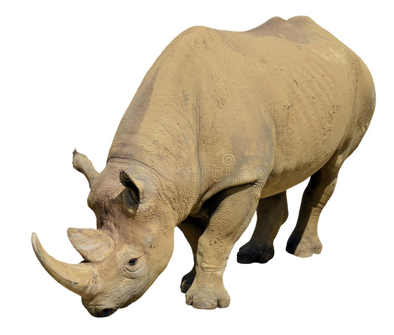 Isolated black rhinoceros stock photo
