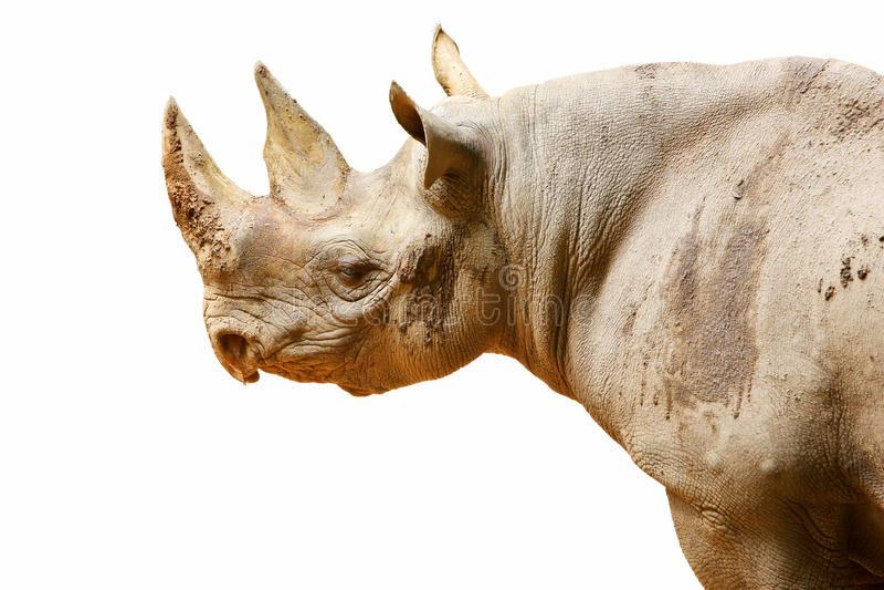 Download Isolated black rhinoceros stock photo. Image of wild - 24109438