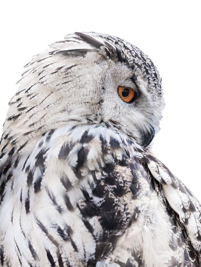 Isolated Black And White Owl Stock Image - Image of iris ...