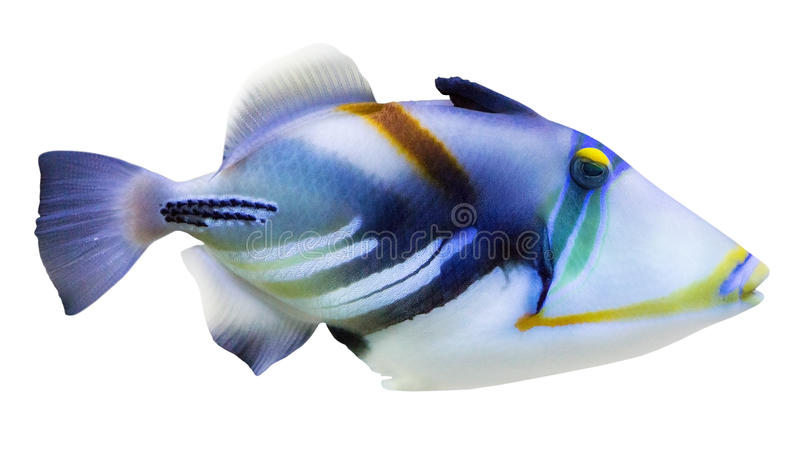 Download Isolated Blue And White Small Fish Stock Image - Image of fish, close: 65293605