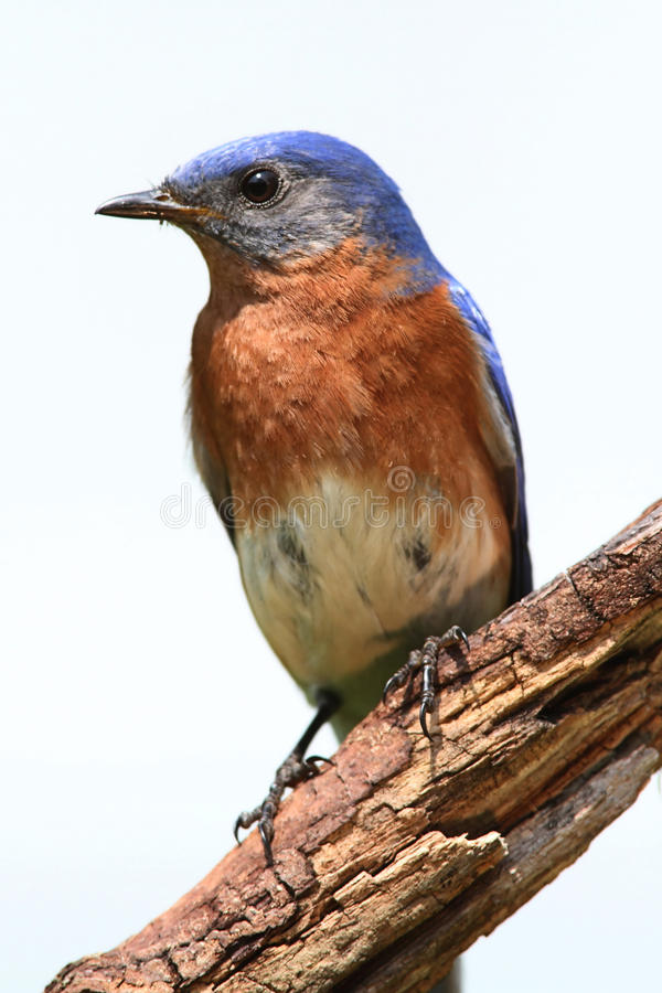 Isolated Bluebird On A Perch royalty free stock images