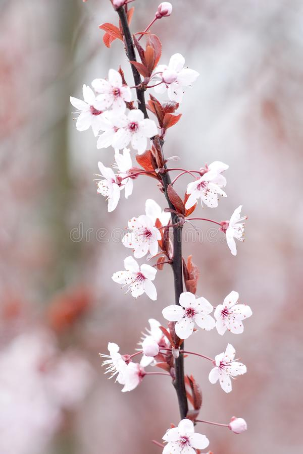 Pink Delicate Cherry Blossoms Springtime Isolated stock photography