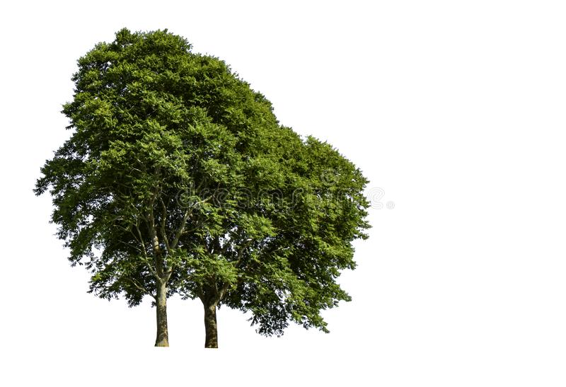 Isolated Bright green tree on a white background with clipping path royalty free stock photos