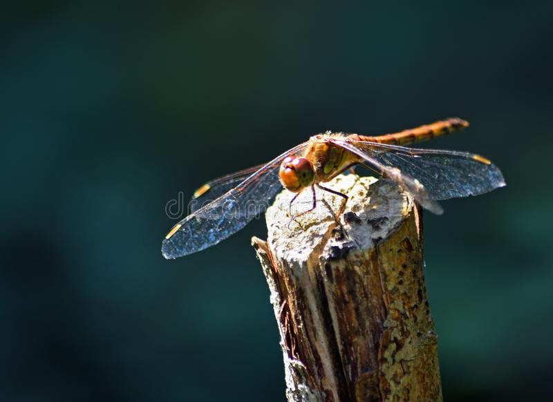 Isolated Brown Hawker Dragonfly on wooden stick with out of focus background. stock photos
