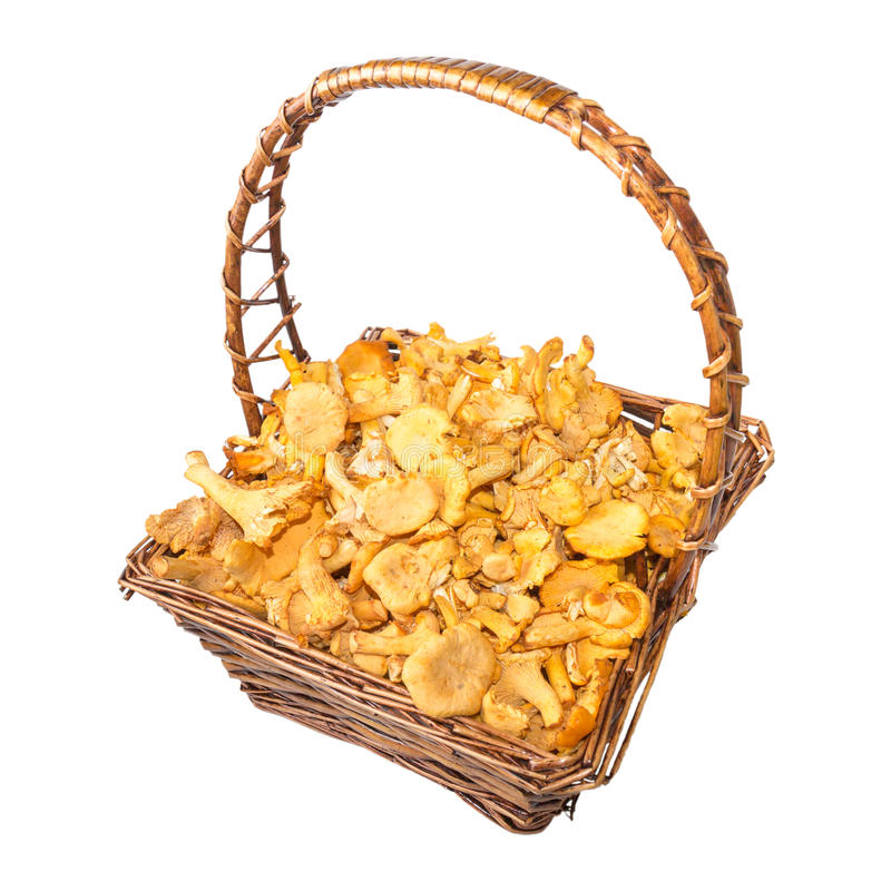 Isolated busket of chanterelle mushrooms. Busket of yellow chanterelle mushrooms isolated on white royalty free stock image