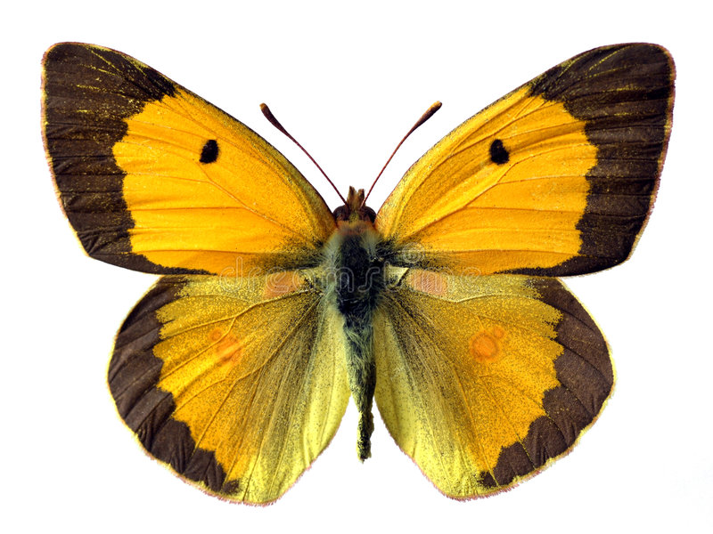 Isolated butterfly royalty free stock photos