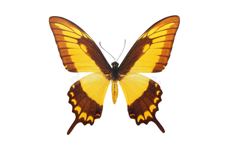 Isolated butterfly royalty free stock images