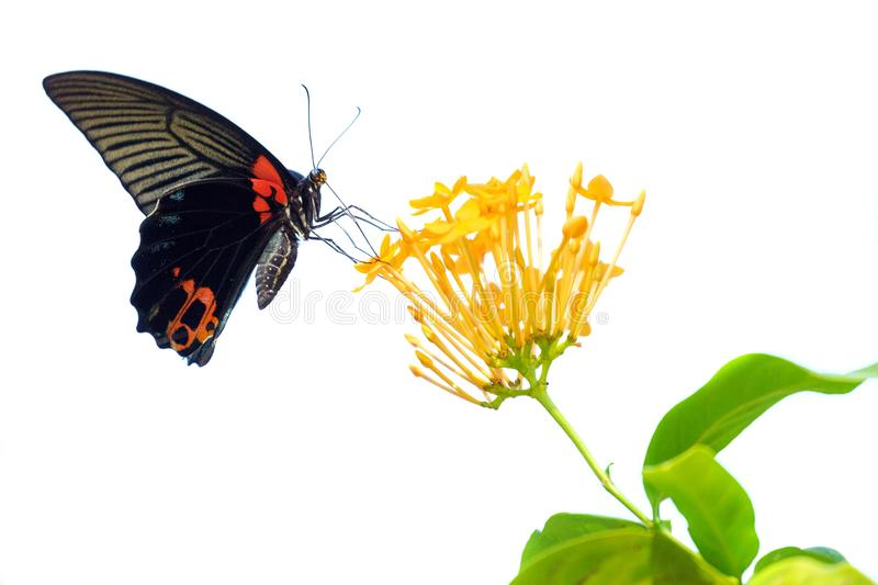Isolated butterfly and flower. Papilio Memnon Agenor gathering pollen on Ixora Coccinea flower, isolated on white stock photo