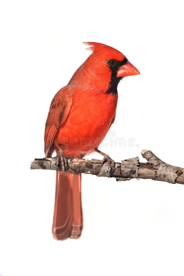 Isolated Cardinal On A Stump royalty free stock photos