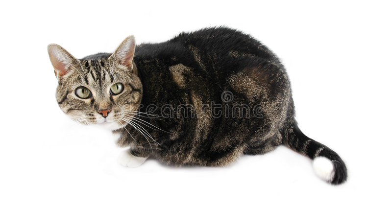 Isolated Cat. Tabby cat isolated on a white background stock photos