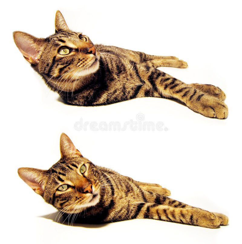 Isolated cat. Isolated complete cat. Is looking at you stock photos