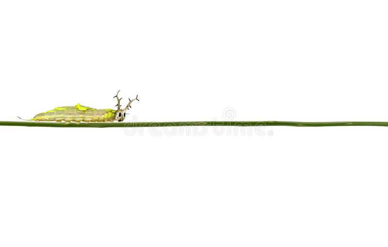 Isolated caterpillar of common pasha butterly   Herona marathus  on white background stock images