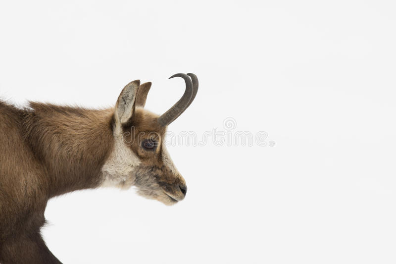 Download An isolated chamois deer stock image. Image of animal - 32210337