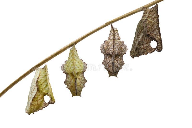 Isolated chrysalis of Tabby butterfly Pseudergolis wedah hanging on twig with white background stock photo