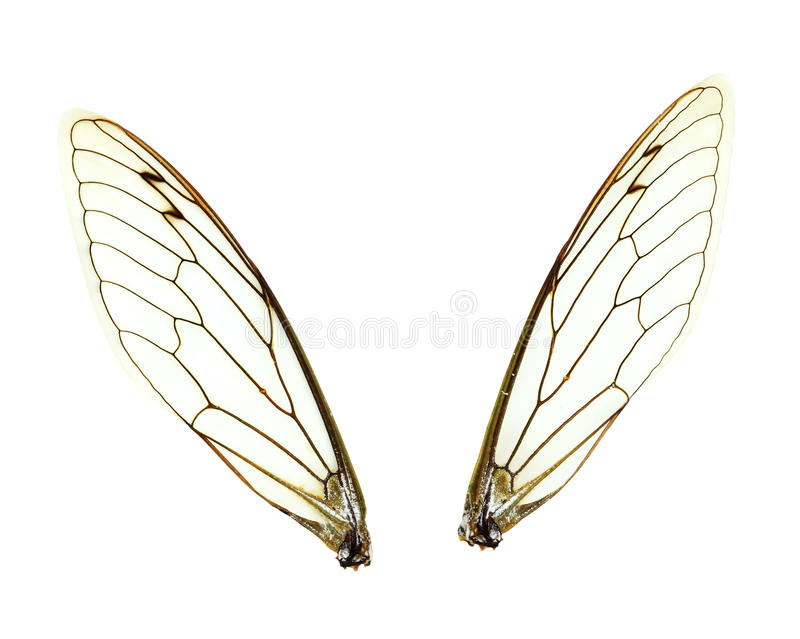 Isolated Cicada Wings stock image