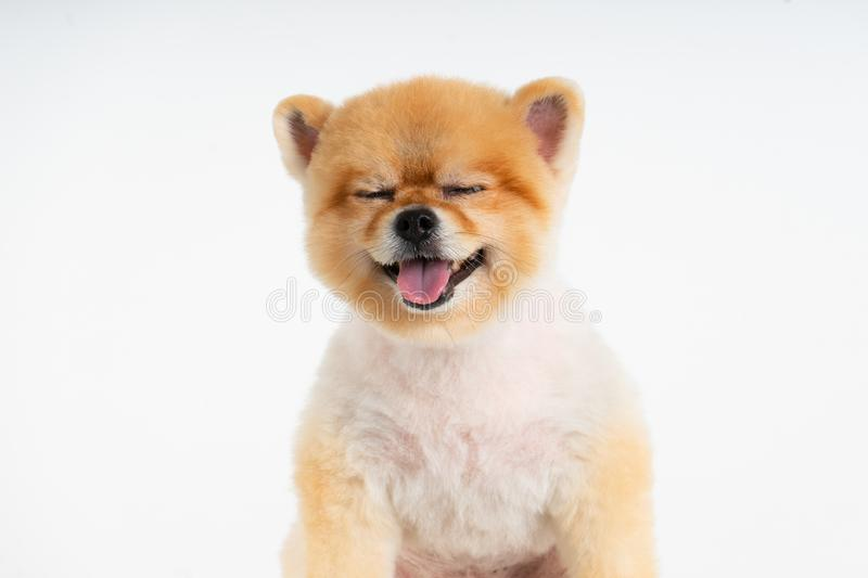 Isolated closeup portrait Pomeranian dog smiling with funny face on the white background. Studio shot of small brown puppy stock photos