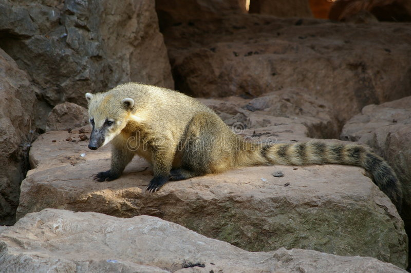 Download Isolated Coati, Bear Species Stock Image - Image: 3223887