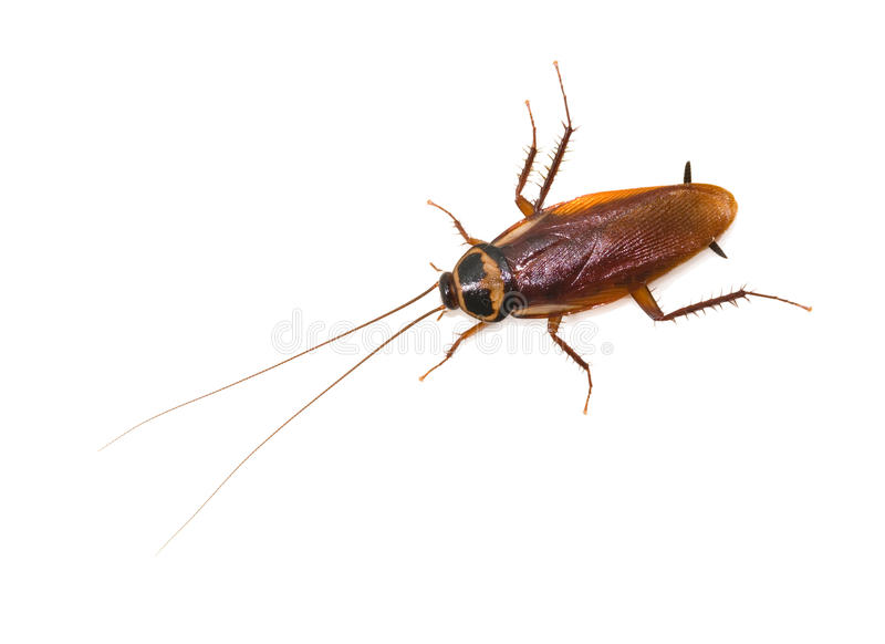 Isolated cockroach on white background royalty free stock image