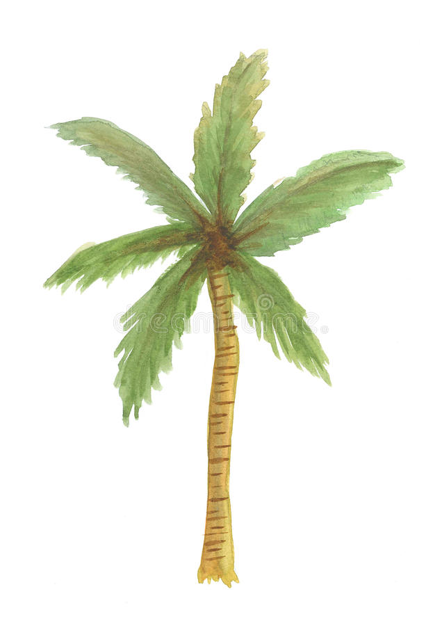 Isolated coconut tree watercolor illustration, isolated nature vector illustration