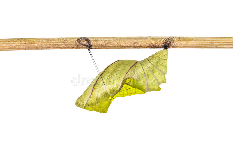 Isolated cocoon of common birdwing butterfly on white. With clipping path royalty free stock images