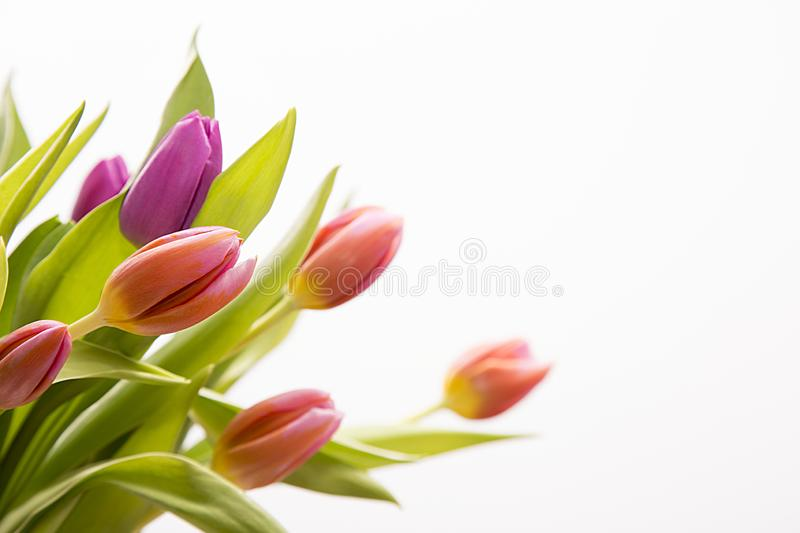 Isolated colored tulips royalty free stock photos
