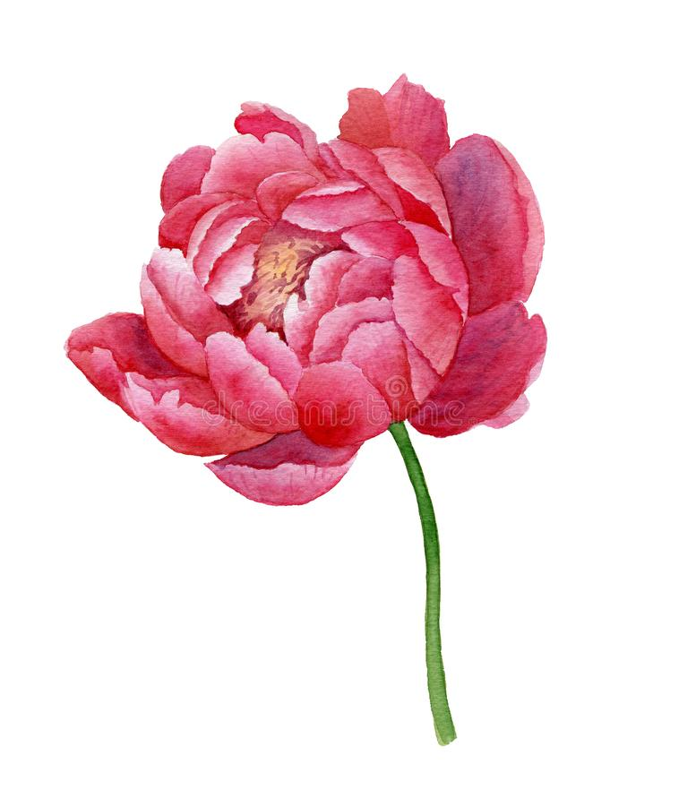 Isolated colorful watercolor pink peony on white background stock illustration