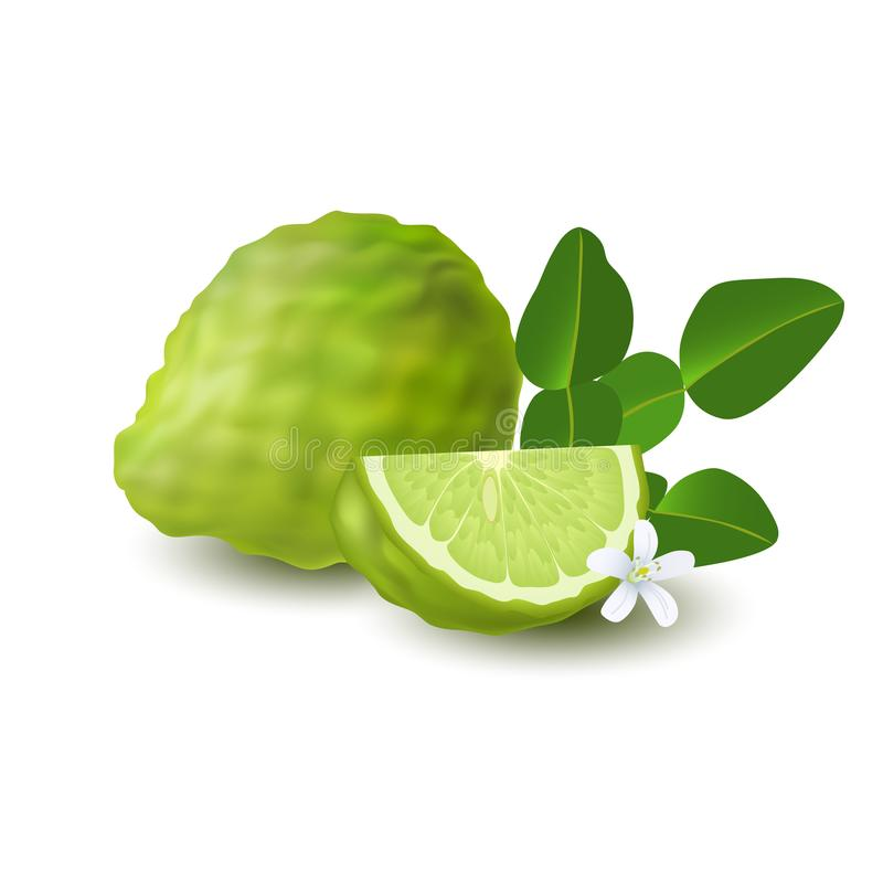 Isolated colorfull green whole and slice of juicy bergamot, kaffir lime with green leaves, white flower and shadow on white backgr. Ound. Realistic citrus fruit stock illustration