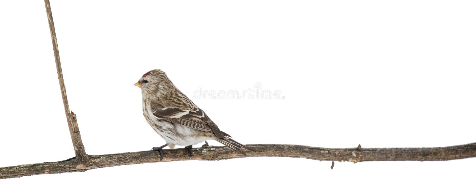 Isolated common redpoll on long dry branch stock image