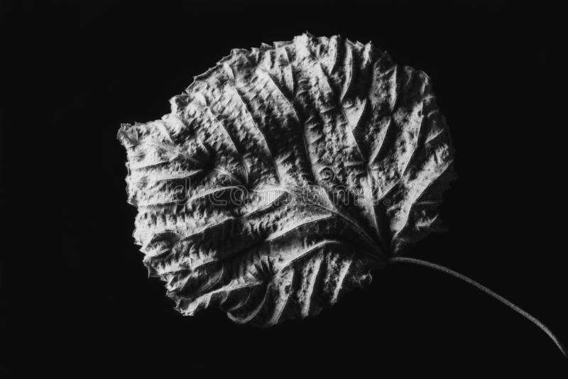 Isolated contrasted leaf close-up abstract. In black and white stock photography