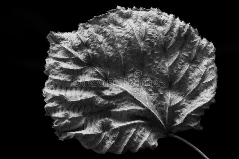 Isolated contrasted leaf close-up abstract. In black and white royalty free stock image