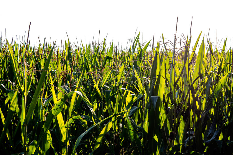 Corn field isolated royalty free stock photos