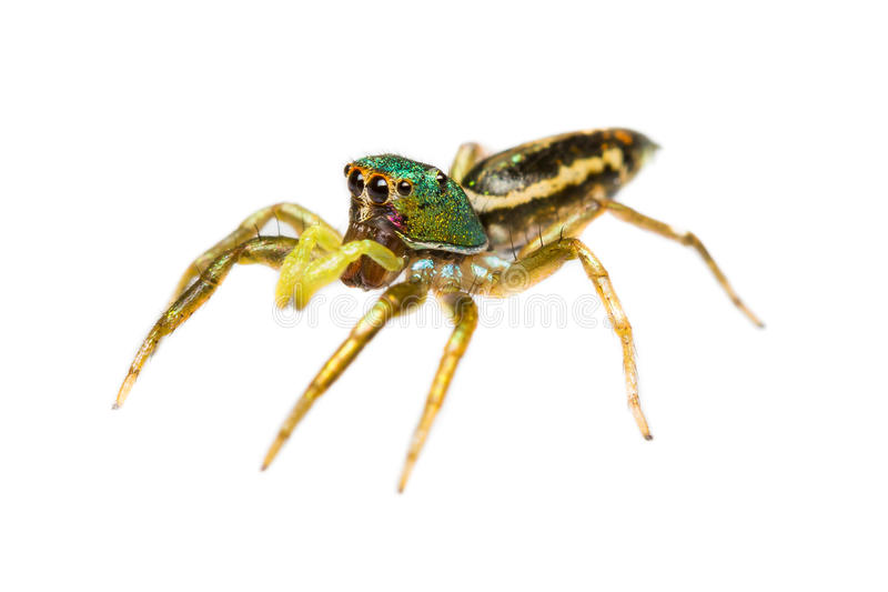 Download Isolated Cosmophasis Umbratica Jumping Spider Stock Photo - Image: 26806310
