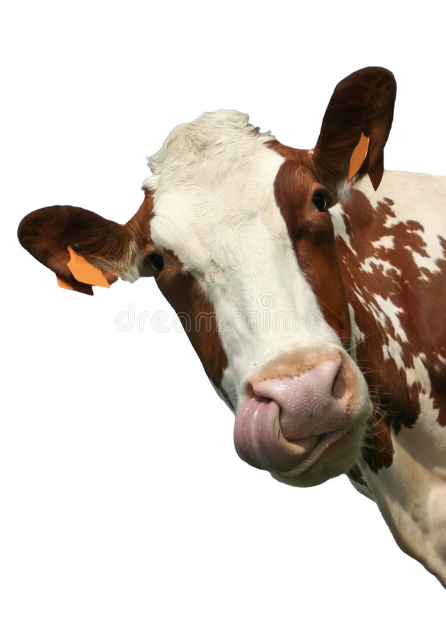 Isolated cow portrait stock image