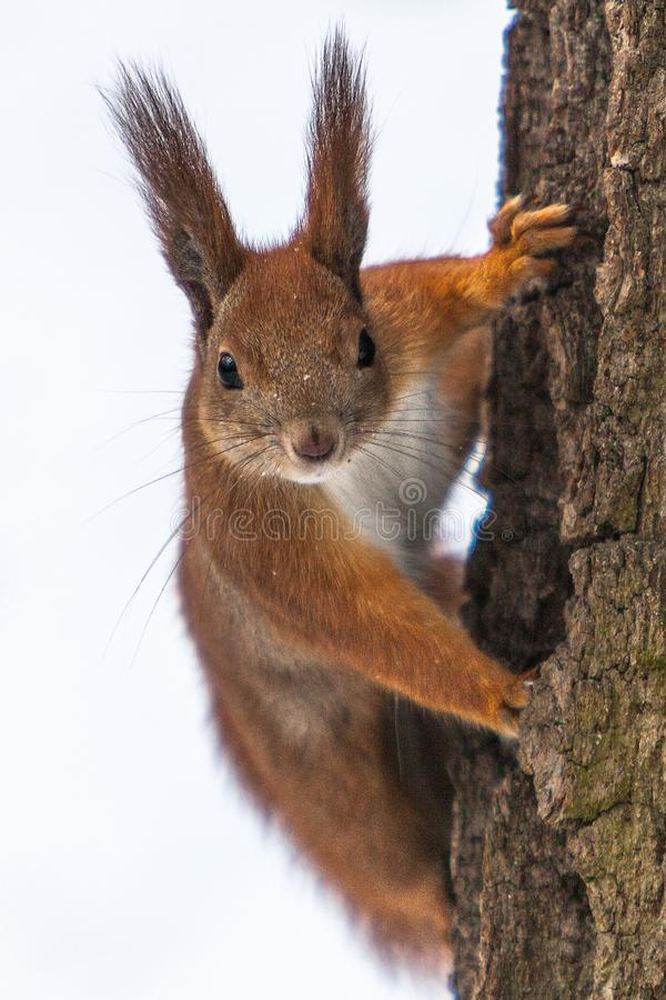 Isolated Curious cute red squirrel looking behind the tree trunk. Close up. Selective focus on eyes. Isolated Curious cute red squirrel looking behind the tree royalty free stock images