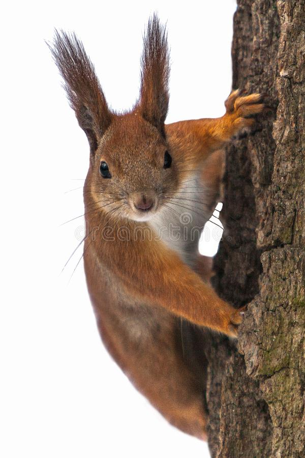 Isolated Curious cute red squirrel looking behind the tree trunk. Close up. Selective focus on eyes. Isolated Curious cute red squirrel looking behind the tree royalty free stock photography