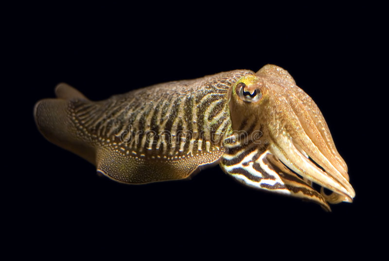 Isolated Cuttlefish. Closeup of a common cuttlefish (Sepia officinalis