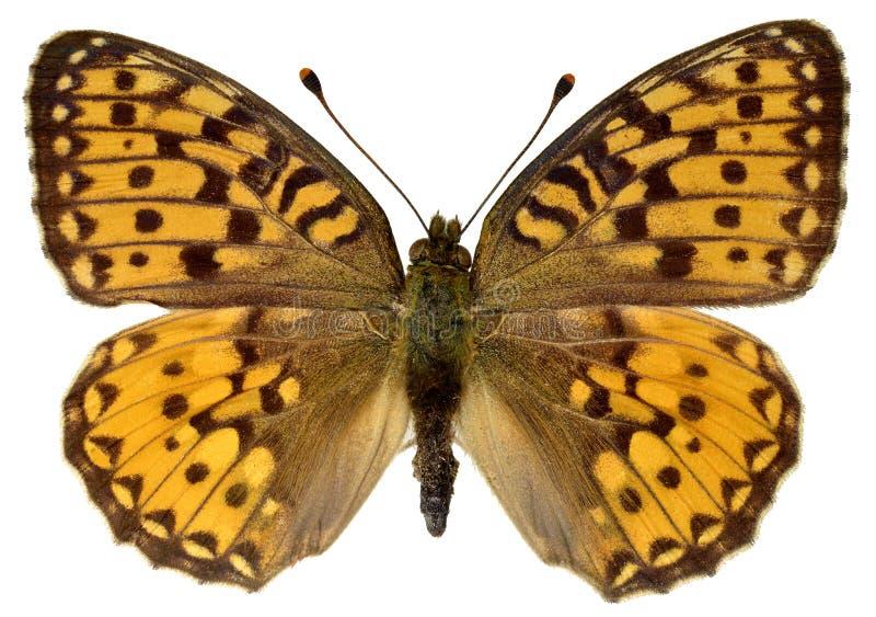 Isolated Dark Green Fritillary butterfly royalty free stock photo