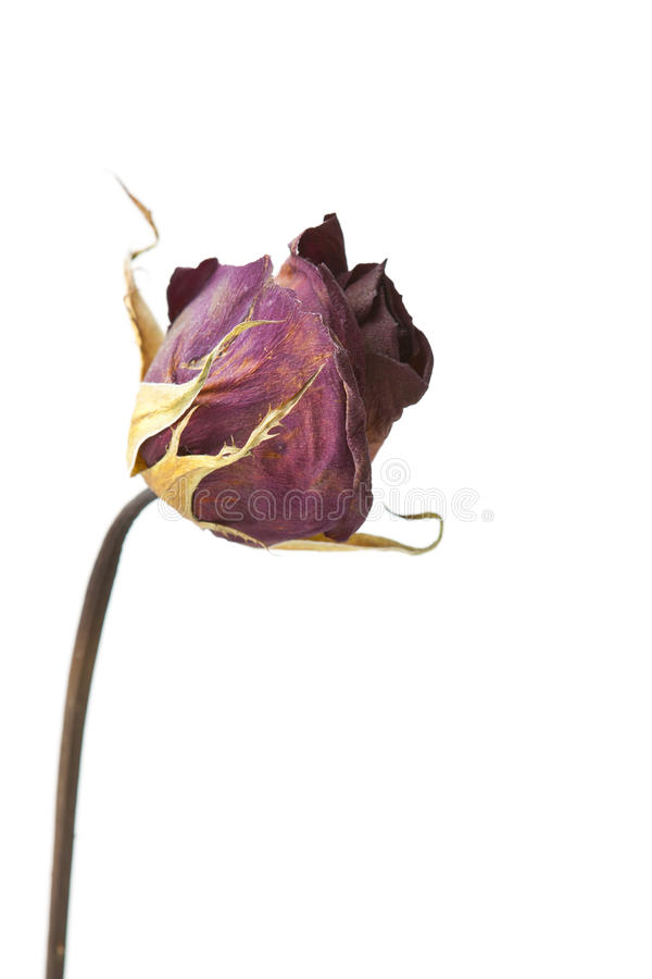 Download Isolated Dead Rose Royalty Free Stock Photography - Image: 26244547