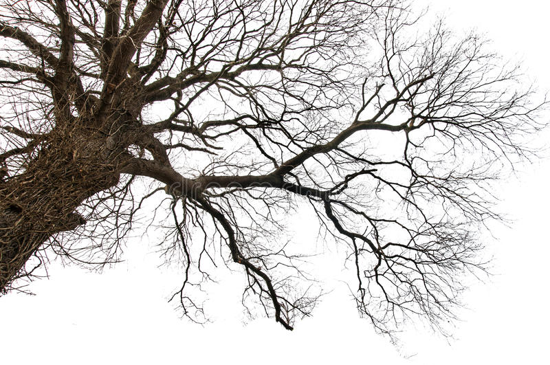 Isolated Dead Tree. Horizontal photo of a tree, isolated on white. Branches are visible and the dead trunk is covered with a dead ivy