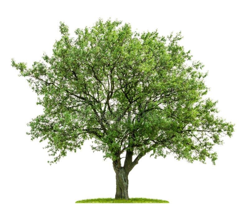 Free Isolated Deciduous Tree Royalty Free Stock Photos - 32427538