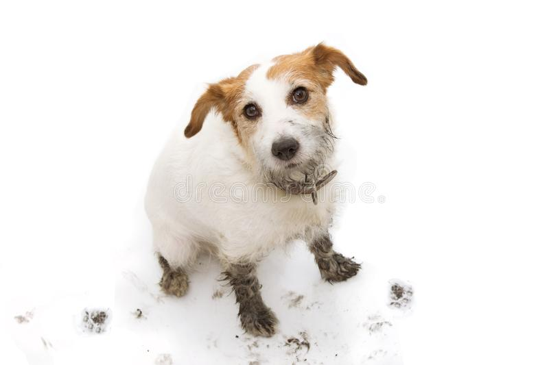ISOLATED DIRTY AND GUILTY  JACK RUSSELL DOG, AFTER PLAY IN A MUD PUDDLE WITH PAW PRINTS  AGAINST  WHITE BACKGROUND. FROM ABOVE. ISOLATED DIRTY AND GUILTY JACK royalty free stock photo