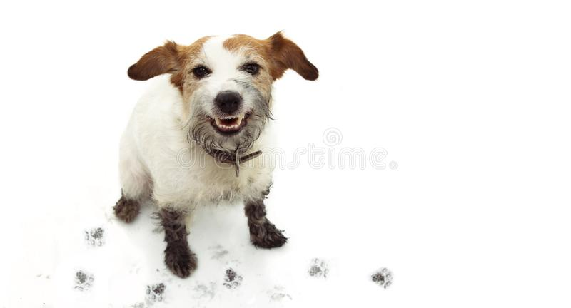 ISOLATED DIRTY JACK RUSSELL DOG, AFTER PLAY IN A MUD PUDDLE WITH PAWPRINTS  AGAINST  WHITE BACKGROUND. ISOLATED DIRTY JACK RUSSELL DOG, AFTER PLAY IN A MUD royalty free stock photos