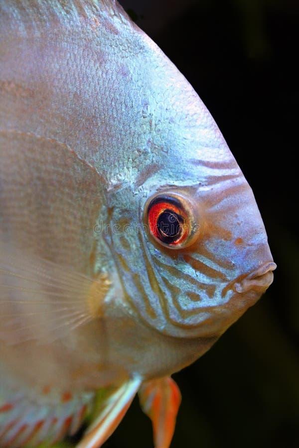 Isolated Discus Fish Head Portrait