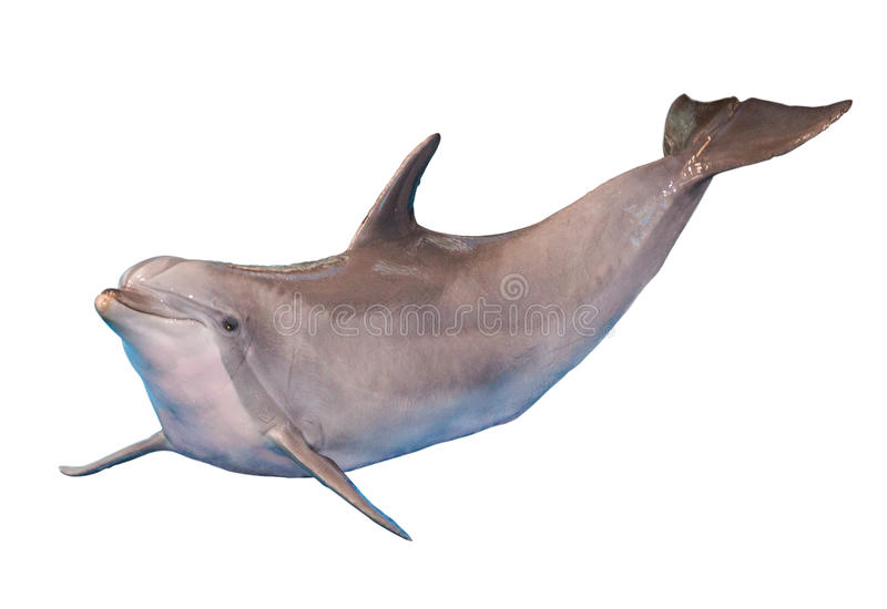 Isolated dolphin. Funny smiling dolphin isolated on white background stock image