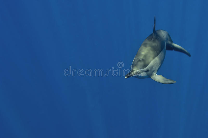 An isolated dolphin looking at you in the deep blue sea underwater dive scuba stock image