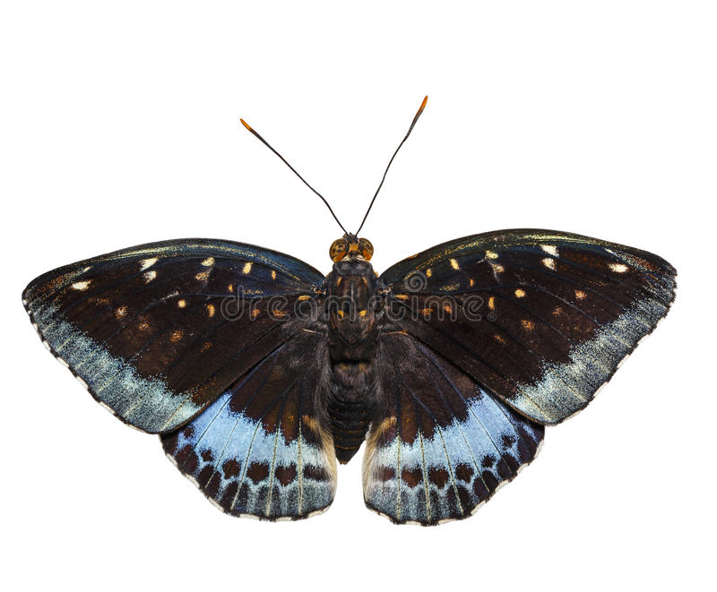 Isolated dorsal view of male Common Archduke butterfly Lexias royalty free stock images
