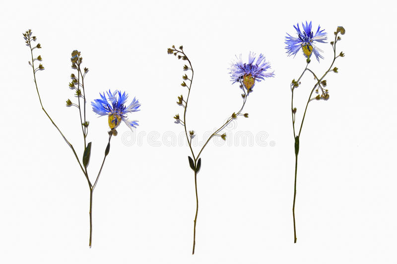 Isolated dried out cornflower blossoms with forget-me-not flower stem stock images